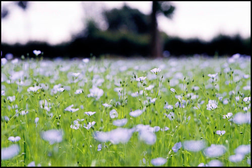 2 FLAX FIELD ©V.Lappartient - European Confederation of Flax and Hemp - CELC
