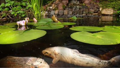 How to Safely Use Water Treatments in a Fish Pond