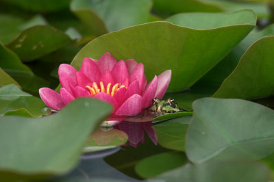 What Role Do Plants Play in A Healthy Pond Ecosystem?