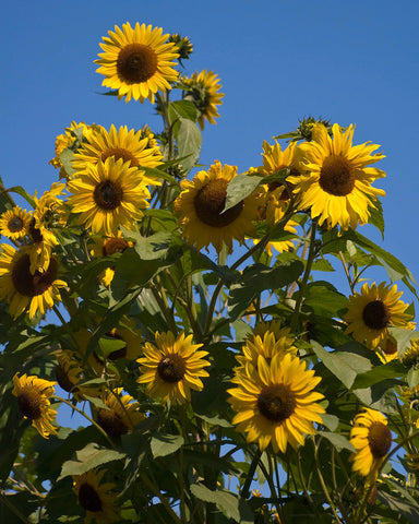 grow a sunflower with your child
