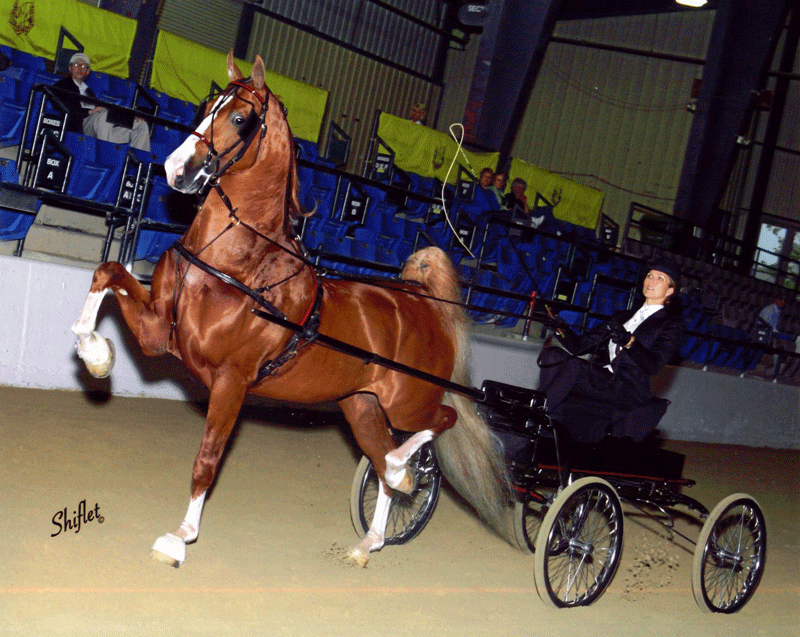 Gothic Revival, one of Melissa Moor'e top saddlebred prospects