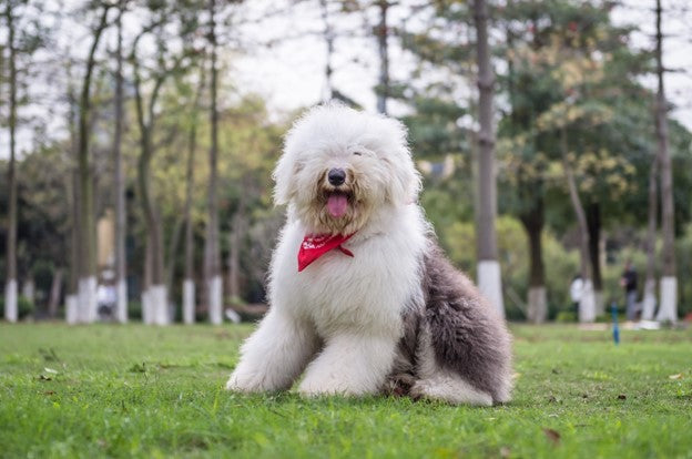 ARCHETYPICAL SHAGGY DOG-OLD ENGLISH SHEEP DOG