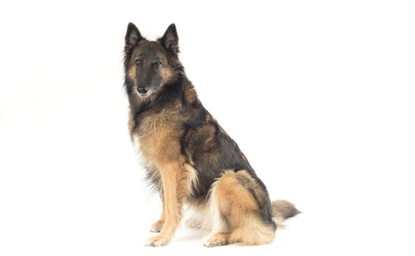BELGIAN SHEEPDOG TERVUREN - A LEND OF INTELLIGENCE AND AGILITY