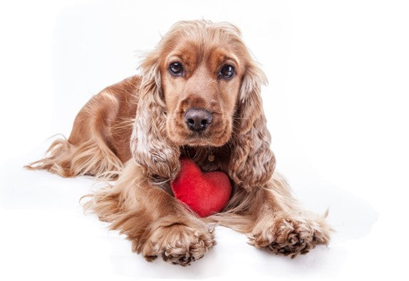 SOME FACTS ABOUT ENGLISH COCKER SPANIEL