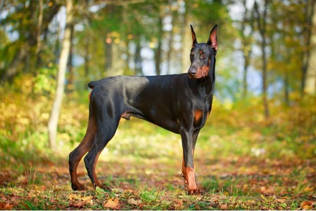 DOBERMAN-THE FEARLESS AND VIGILANT BREED