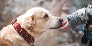 HOW HUMAN INTERFERANCE IS CHANGING THE MINDS'S OF DOGS