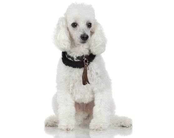 POODLE DOG-PERSONALITY TRAITS