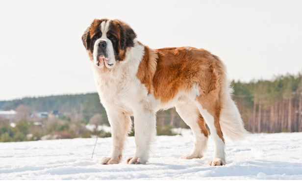 GIANT BREED-SAINT BERNARD