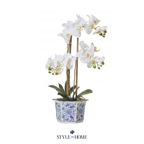 Orchid Phalaenopsis In Blue & White Pot