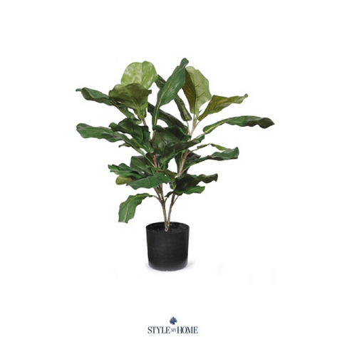 Fiddle Leaf Fig Plant 55cm