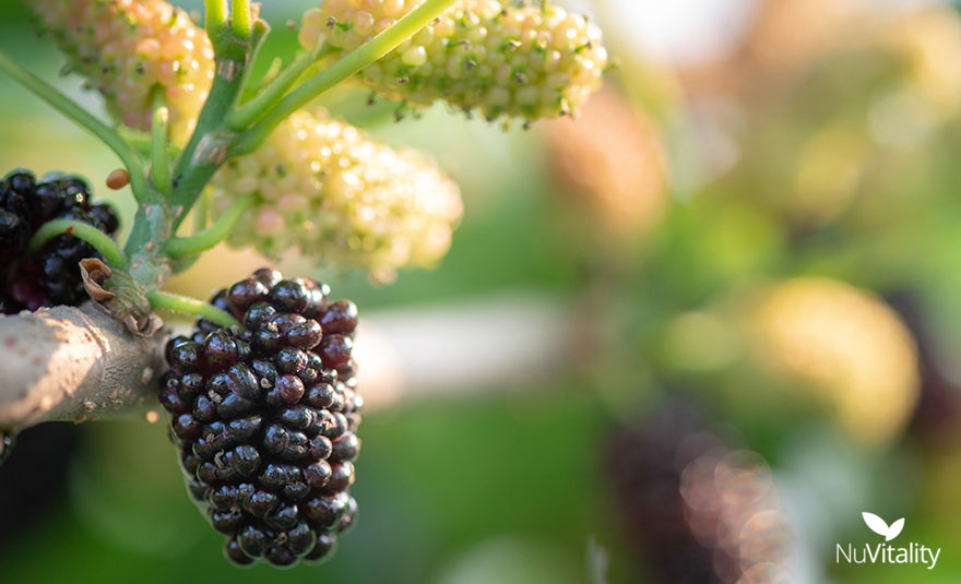 Various Mulberry Fruits