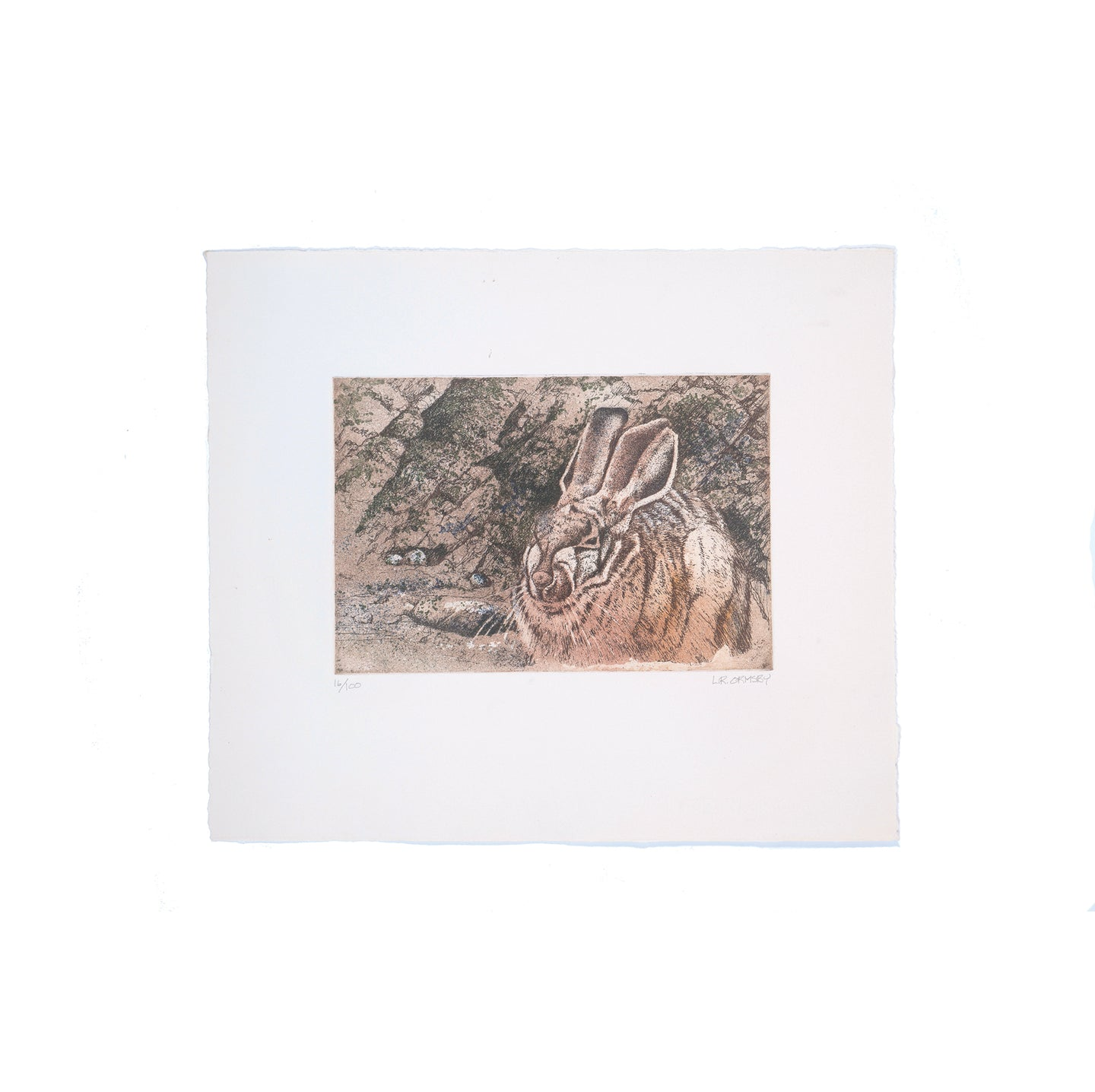Desert cottontail etching, Saguaro National Park, Arizona