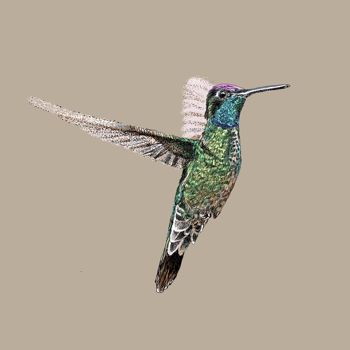 Magnificent hummingbird II
