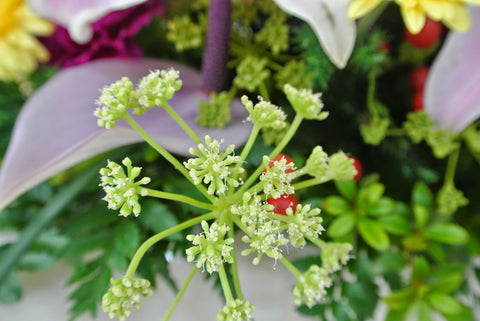 "当归 Angelica hirsutiflora Live Plant in a 6"" to 1 Gallon Container. Also available 5 gallon"