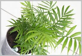 "Bamboo Palm (Chamaedorea sefritzii) - 6"" to 1 gallon pot container live plant. Also available in 5 gallon"