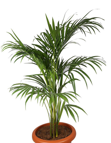 "Areca Palm (Chrysalidocarpus lutescens), 6"" to 1 gallon pot container live plant, 散尾葵. Also available in 5 gallon"