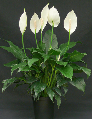 "Peace lily (Spathiphyllum 'Mauna Loa'), 白鹤芋 - 6"" to 1 gallon pot container live plant. Also available in 5 gallon"