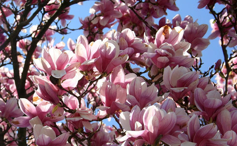 "Magnolia (pink) - 6"" to 1 gallon pot container live plant. Also available in 5 gallon"