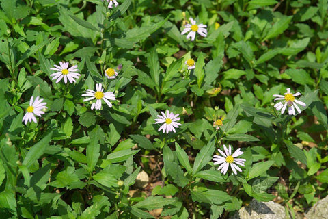 "马兰草 Aster Indicus Live Plant in a 6"" to 1 Gallon Container. Also available 5 gallon"