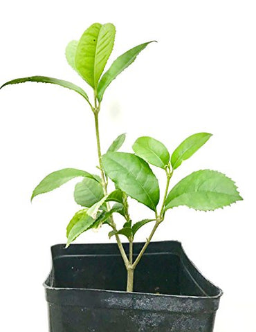 "Sweet olive tree live plant,Osmanthus (4-season) 桂花, 6"" to 1 gallon pot container live plant. Also available in 5 gallon"