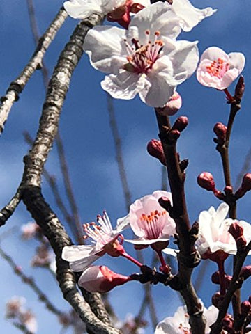 "Thundercloud Plum (Cherry Plum), 6"" to 1 gallon pot container live plant. Also available in 5 gallon"