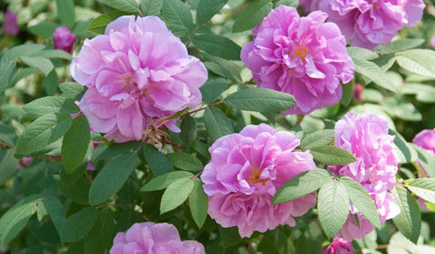 "Rugusa Rose (pink) - 6"" to 1 gallon pot container live plant. Also available in 5 gallon"