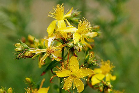 "St. John's Wort (Hypericum perforatum) 6"" to 1 gallon pot container live plant. Also available in 5 gallon"