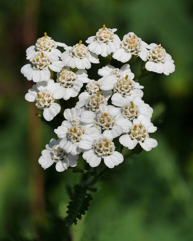 "Yarrow (Achillea millefolium) 6"" to 1 Gallon Container Pot Live Plant - White Color - Drought Tolerant, Native, Herbal Plant. Also available in 5 gallon"