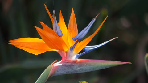 "Bird of Paradise - 6"" to 1 gallon pot container live plant. Also available in 5 gallon"