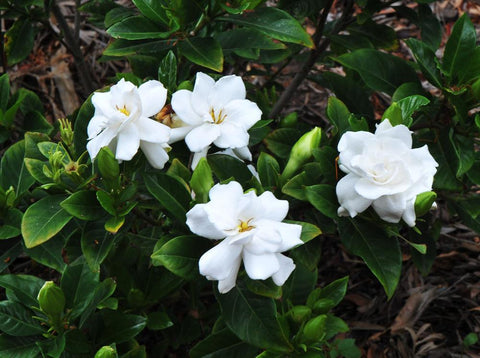 "Gardenia 6"" to 1 gallon pot container live plant. Also available in 5 gallon"