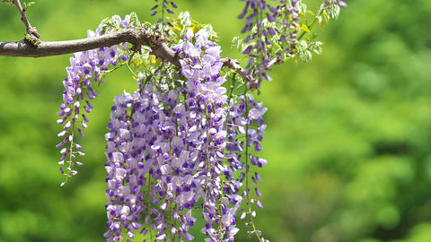 "Japanese Wisteria (Wisteria floribunda) 6"" to 1 gallon pot container live plant 日本紫藤. Also available in 5 gallon"