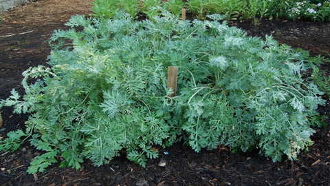 "Wormwood (Artemisia Absinthium) 6"" to 1 Gallon Container Pot Live Plant - 艾草 - Drought Tolerant, Native, Herbal Plant. Also available in 5 gallon"