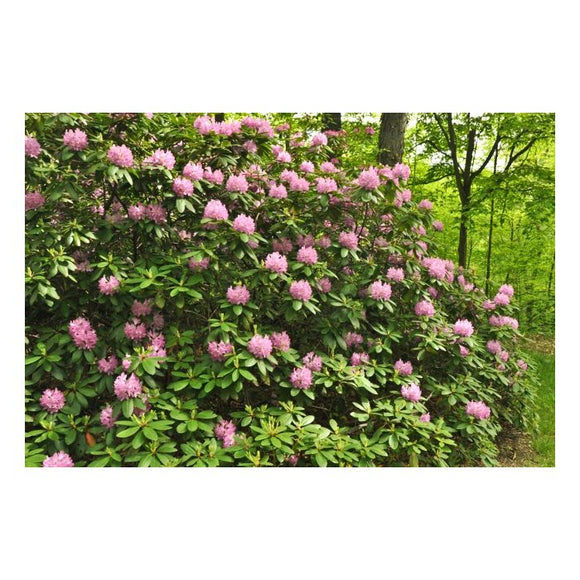 Roseum Pink Rhododendron Rhododendron x 'Roseum Pink' #3-15-18