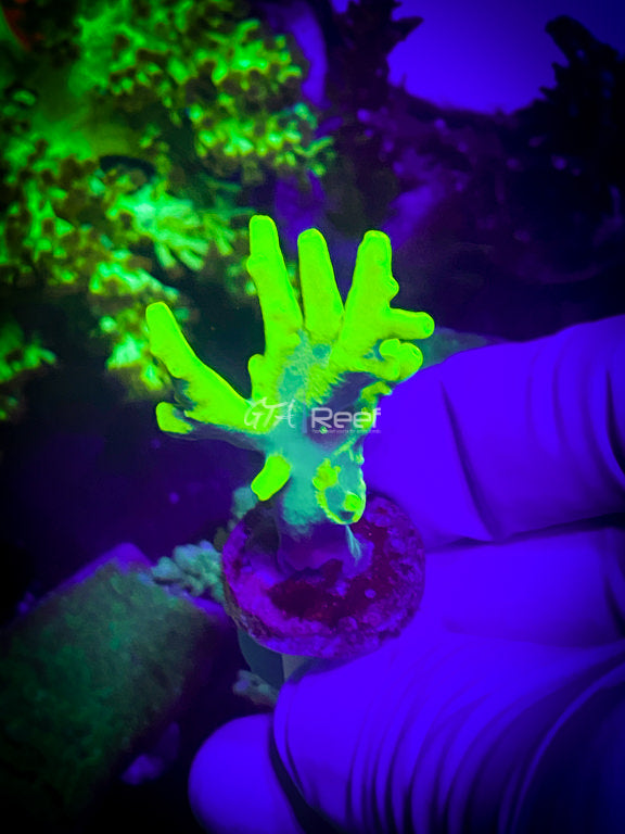 Acanthastrea Lord Green 1
