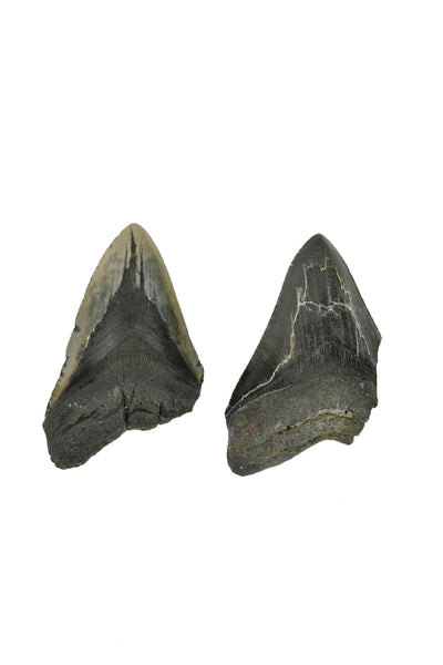 Megalodon Tooth - Partial
