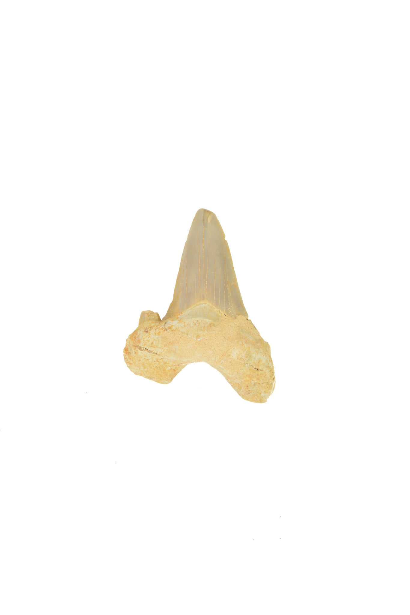Otodus Obliquus Shark Tooth