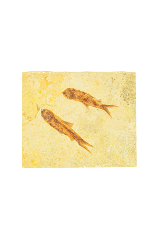 Double Fish Fossil