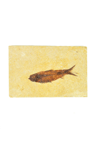 Single Fish Fossil