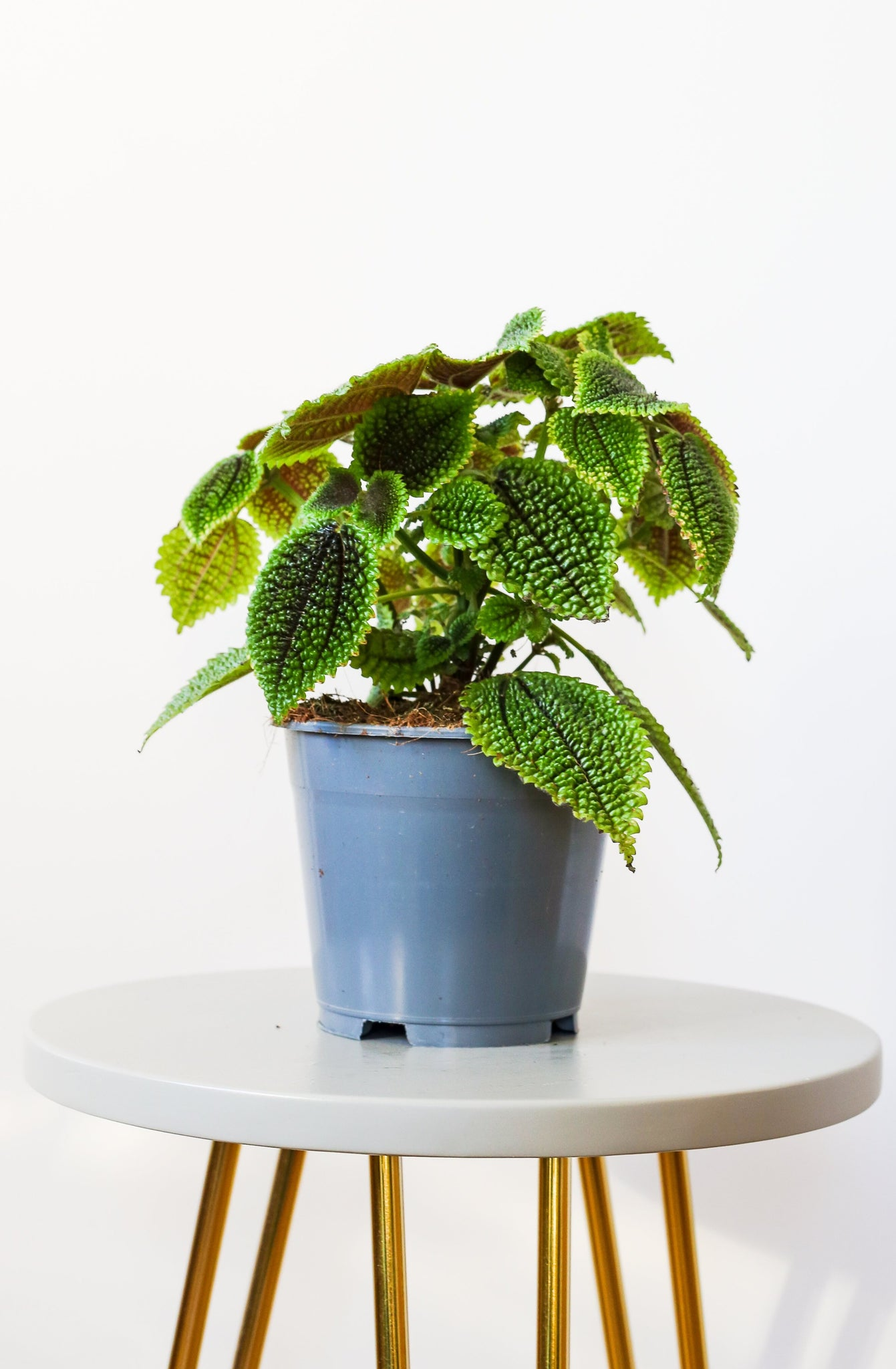 Pilea involucrata 'Moon Valley'