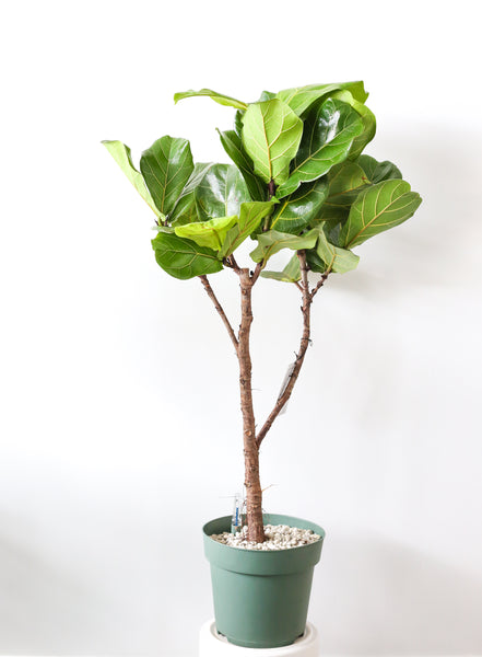 Ficus Lyrata (Fiddle Leaf Fig) Tree Large