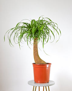 Ponytail Palm (Elephant Foot Plant or Nolina Beaucarnea) Large