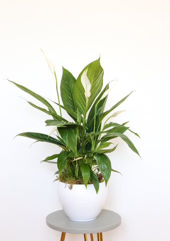 Spathiphyllum Bingo Cupido (Peace Lily) Gift