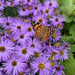 Load image into Gallery viewer, Aromatic Aster