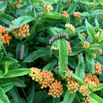 Load image into Gallery viewer, Butterfly Milkweed