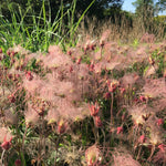 Load image into Gallery viewer, Prairie Smoke