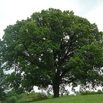 Load image into Gallery viewer, Bur Oak
