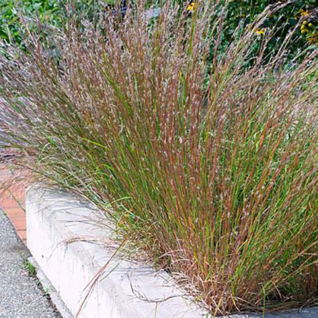 Little Bluestem