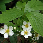 Load image into Gallery viewer, Wild Strawberry