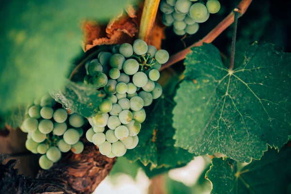 The Worlds Most Important Wine Grapes Part II - White Wine