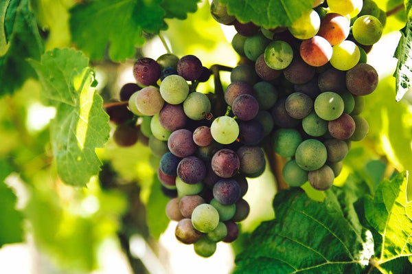 Catalan Grapes Veraison